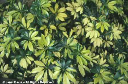 Schefflera growth chameleon forums - Schefflera variegata ...