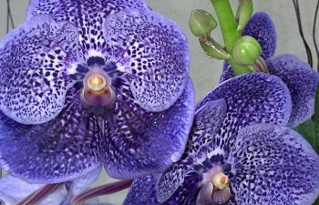 Intro to Growing Orchids: The Vanda Alliance