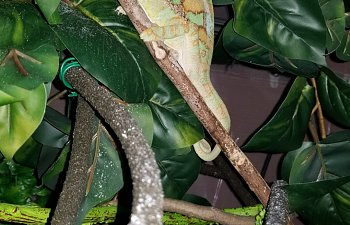 Pro-Tips for Beginners and Planning to Get a Chameleon