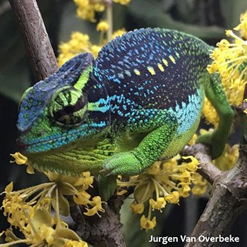 World Chameleon Species Tour: Trioceros serratus