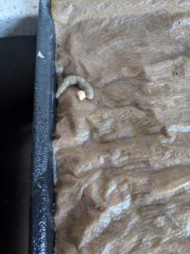 Grey poop? | Chameleon Forums