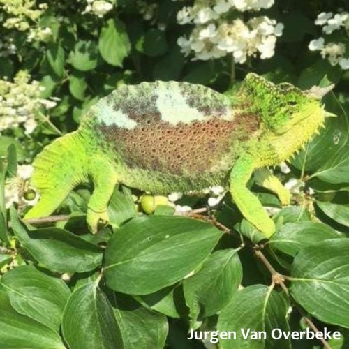 World Chameleon Species Tour: Trioceros quadricornis