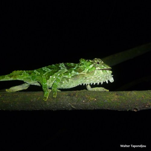 Trioceros quadricornis eisentrauti juvenile 2 copy SQU.jpg