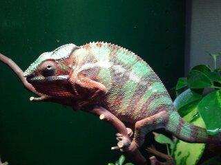 chameleons 033.jpg
