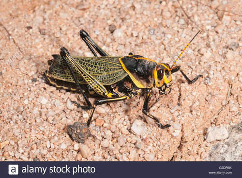 western-horse-lubber-grasshopper-taeniopoda-eques-green-valley-arizona-G3DR6K.jpg