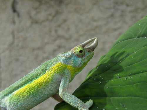 Jackson's Chameleon Articles and Studies