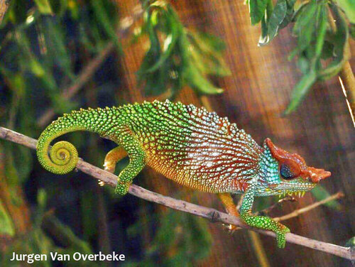World Chameleon Species Tour: Trioceros pfefferi