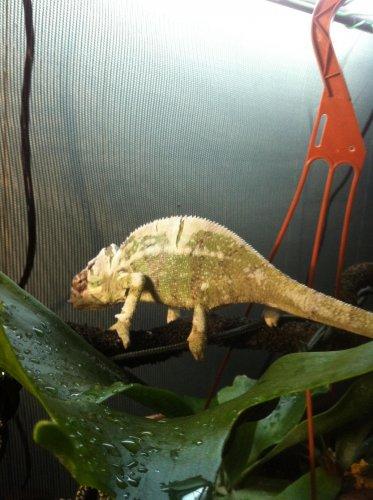 chameleons march 10 043.jpg