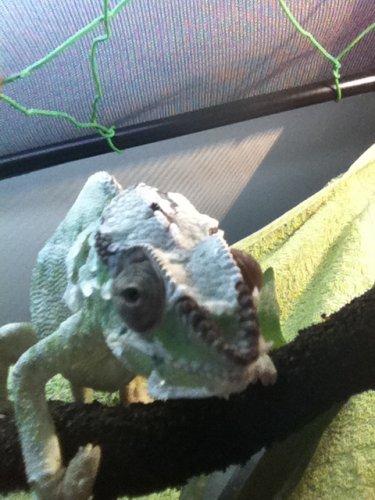 chameleons march 10 055.jpg