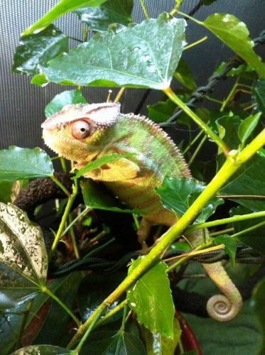 chameleons march 21 005.jpg
