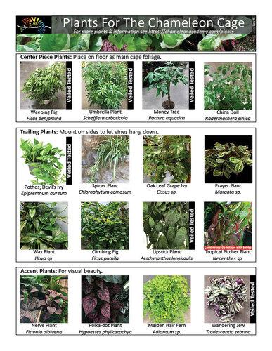Chameleon Plants 122819.jpg