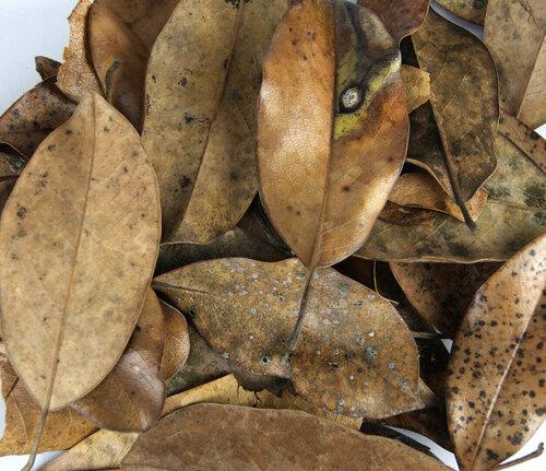 magnolia_leaves_josh_s_frogs.jpg