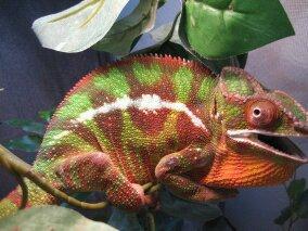 chameleons 063.jpg