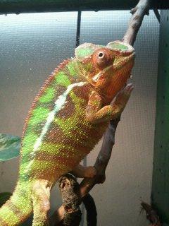 chameleons 064.jpg