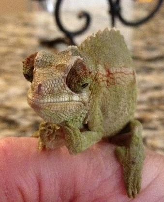 Baby Chameleon2.jpg