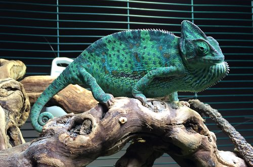 Restless Veiled Chameleon Searching For Nesting Box Chameleon Forums