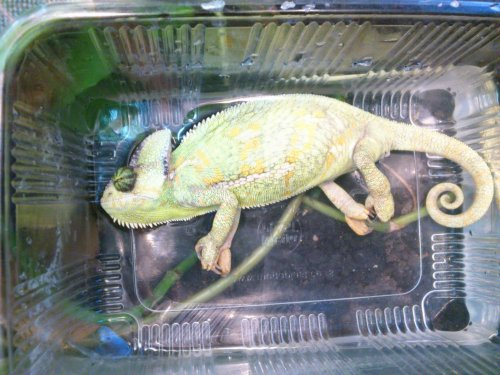 Veiled Chameleon Is Sick Chameleon Forums
