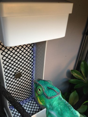 My Diy Feeder Cup Chameleon Forums
