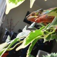 Kamil_the_chameleon