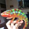 CleanHome Chameleons