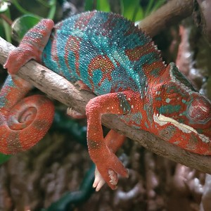 """Brother Joseph"" Ambilobe Panther Chameleon from Kammerflage Kreations"