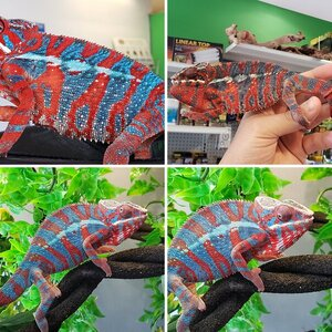Amin the panther chameleon