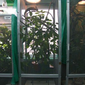 Male Veiled cham enclosure