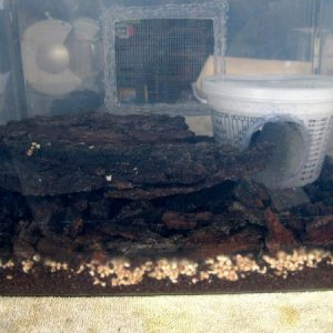 Ready for the bugs. Lots of substrate for nymphs, humid hide, screen window on the other side, some oak bark slabs. I got all my oak bark from the bas