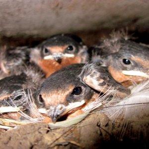 barn sparrows