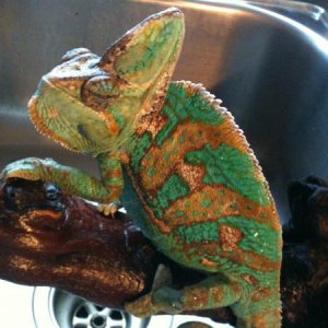 Camo just finishing up a shower in the kitchen sink! He loves it!