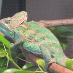 Monty on 6/10/13 in his new cage basking