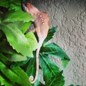 Good morning from Harlequin Opal, my new addition and very first chameleon!