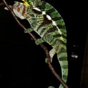 Furcifer pardalis Ambanja2 M18