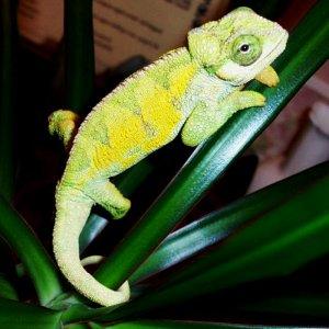 Oscar my Rudis chameleon
