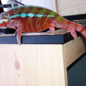 Billy my Panther chameleon