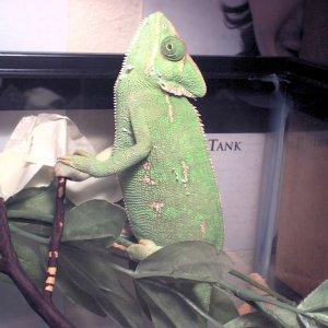 Worship time for my Chameleon