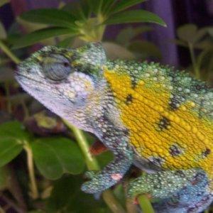 High color Rudis male