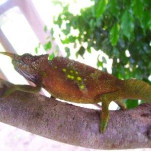 Male Sailfin chameleon