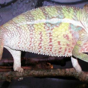 blue bar Elder Chameleons