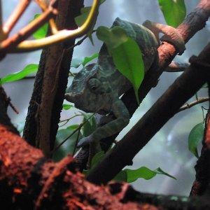 Male Furcifer balteatus