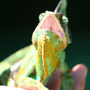 The Singing Chameleon