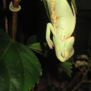 Chameleon, or bat?