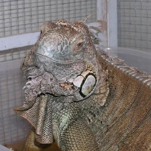 Oscar - my friends iguana