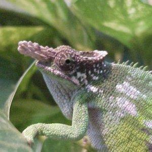 Male Fischer's Chameleon