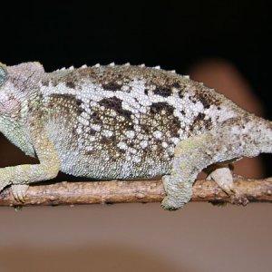 Female jacksonii merumontanus
