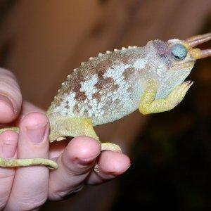 male jacksonii merumontanus