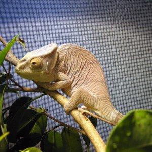 C. parsonii