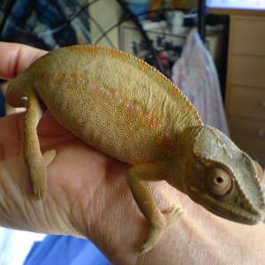 Female Panther Chameleon