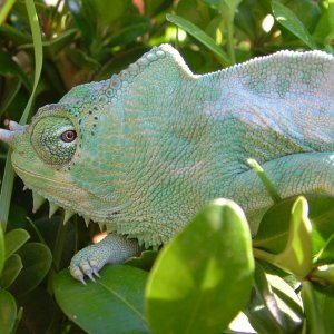 C.T.quadricornis quadricornis