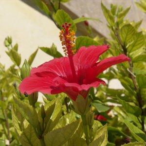 Hibiscus - red flower